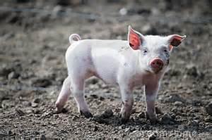 Happy Cute Baby Pigs