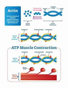 Protein Synthesis Vector Illustration  Transcription And