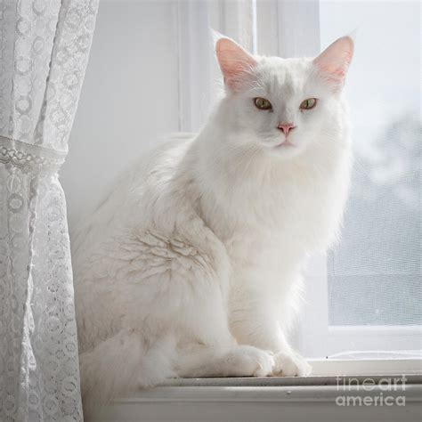 White Cat On A Windowsill Photograph By Kathleen Smith