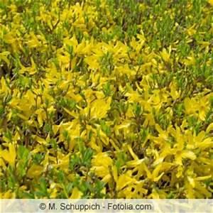 Wann Johannisbeeren Pflanzen : forsythie richtig schneiden wann zur ckschneiden ~ Orissabook.com Haus und Dekorationen