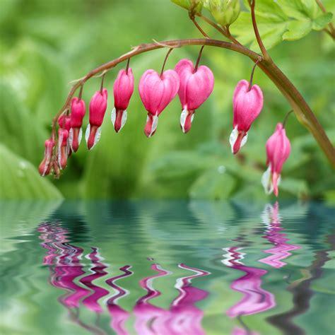 bleeding hearts bleeding heart vine pink pinterest