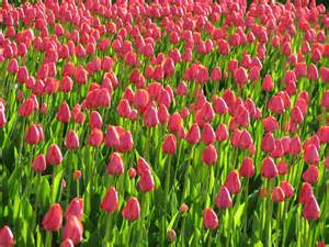 Pink Flowers Plants Tulips