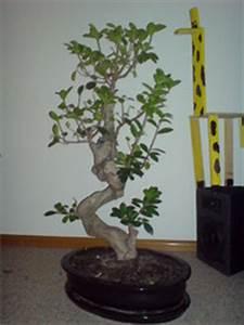Ficus Ginseng Kaufen : einen feigenbaum kaufen und leckere feigen ernten ~ Sanjose-hotels-ca.com Haus und Dekorationen
