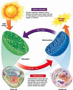 Photosynthesis  Cellular Respiration   U0026 Fermentation