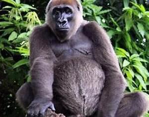 Cross River Gorilla (Gorilla Gorilla Diehli) - Animals - A ...