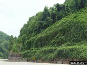 Kudzu Vine Invasive Species