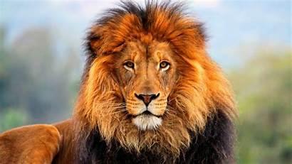 Lion Amazing African Safari