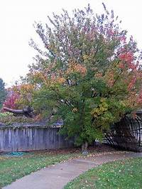 trident maple tree Maple, Trident