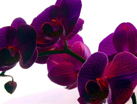 what color is orchid a named jocelyn sidelines
