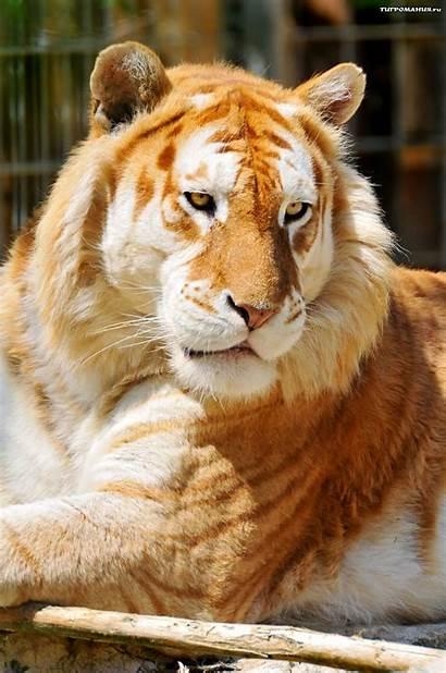 Tiger Golden Animals Pets