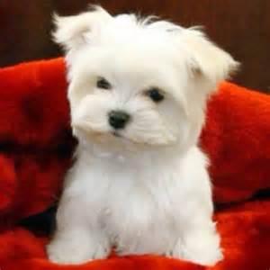 Tiny Toy Maltese Puppies
