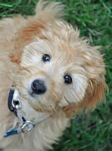 Teddy Bear Goldendoodle Puppy