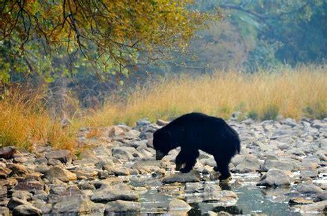 sloth bear picture  ranthambore national park sawai