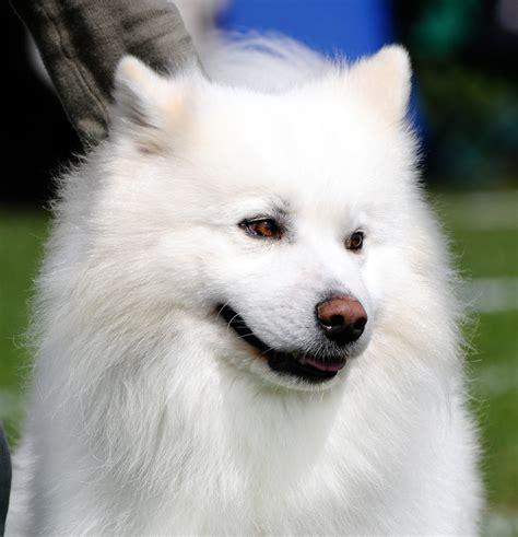 American Eskimo Dog Hd Wallpapers High Definition