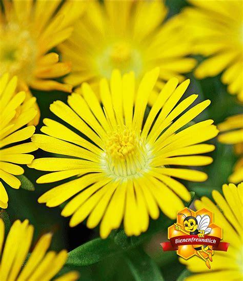 Garten Pflanzen Winterhart by Winterharte Eisblume Gelbe Peridot 1a Pflanzen Baldur