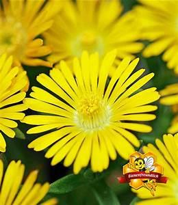 Gelbe Winterharte Pflanzen : winterharte eisblume gelbe peridot 1a pflanzen baldur garten ~ Markanthonyermac.com Haus und Dekorationen