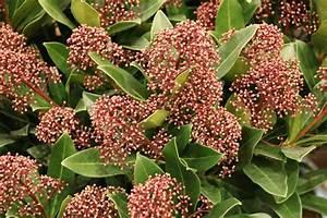 Immergrüne Pflanzen Winterhart : immergr ne winterharte k belpflanzen ~ A.2002-acura-tl-radio.info Haus und Dekorationen