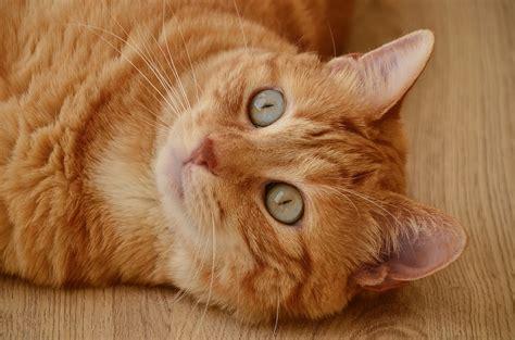 gatto da appartamento razza gatto in appartamento ecco alcuni utili consigli da