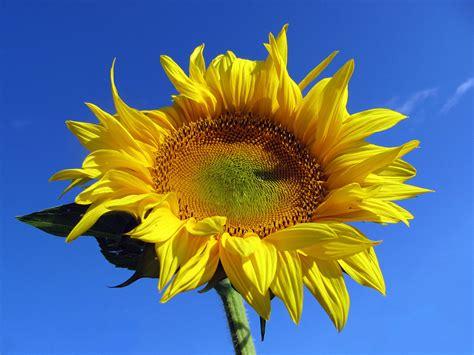 sonnenblume sommer kostenlose hintergrundbilder
