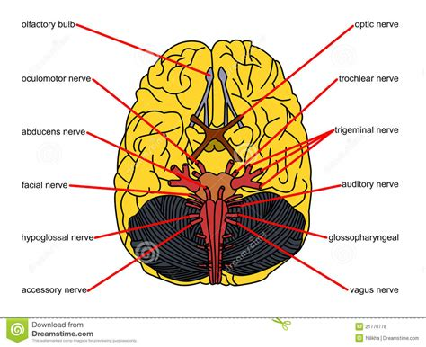 brain parts  top view stock illustration illustration
