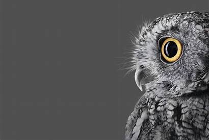Surface Microsoft Wallpapers Studio Official Owl Right