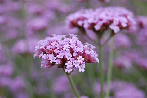 verbena flower verbena bonariensis landscape architect s pages