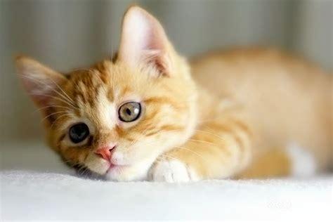 Baby Ginger Kitten Nottingham Nottinghamshire Pets4homes