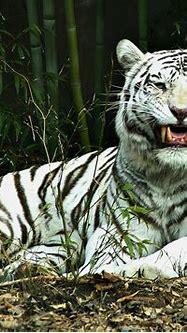 Wild and Endangered Animals: Endangered White Tiger