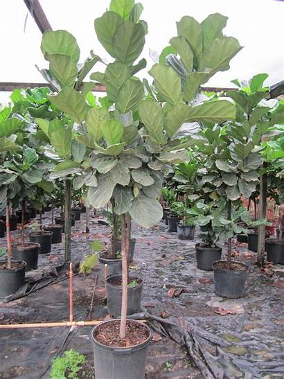 Ficus Lyrata Tropical Plants Standard Miami Tree
