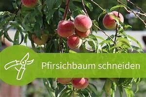Pflanzen Schneiden Kalender : pfirsichbaum schneiden im fruhjahr ~ Orissabook.com Haus und Dekorationen