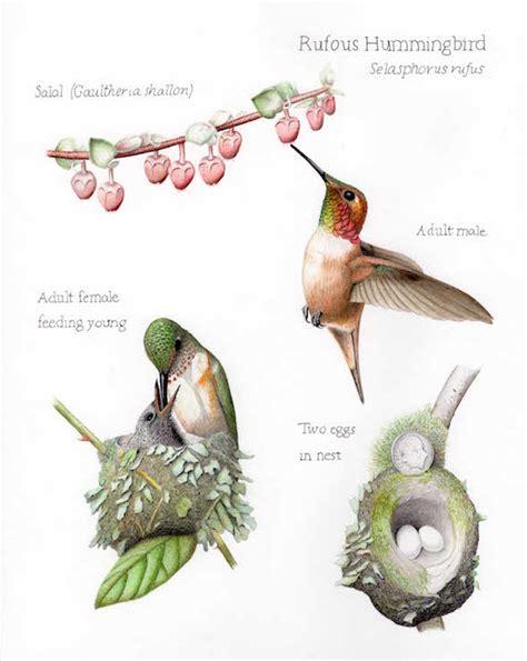 rufous hummingbird selasphorus rufus lifecycle plate