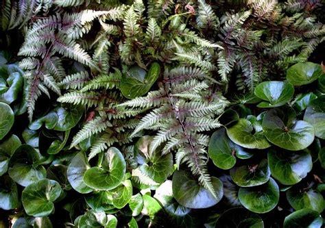 ferns awakening  shade garden burlington garden center