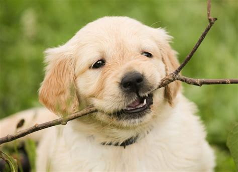 ultimate guide  golden retriever puppies rovercom