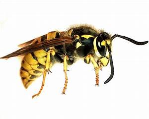 Bienen Und Wespen : bienen und wespen naturfotos n her hingeschaut ~ Whattoseeinmadrid.com Haus und Dekorationen