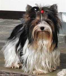 Biewer Yorkie Yorkshire Terrier