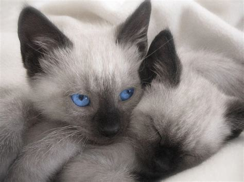 Siamese Cat Wallpapers  Wallpaper Cave