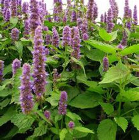 buy wholesale china buy wholesale patchouli plant seeds from china
