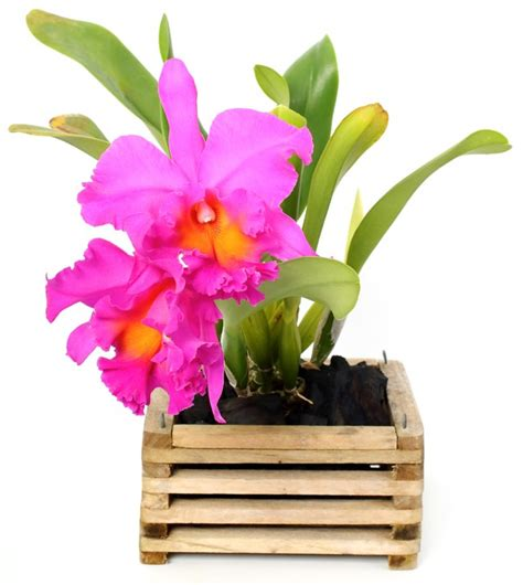 repotting orchids in bloom cattleya