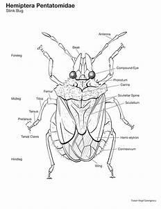 Sluggin U0026 39  Along  Brown Marmorated Stink Bug