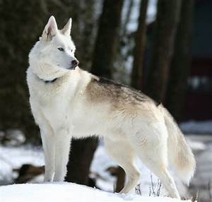 black wolf hybrids for sale | monti is a wolf husky hybrid ...