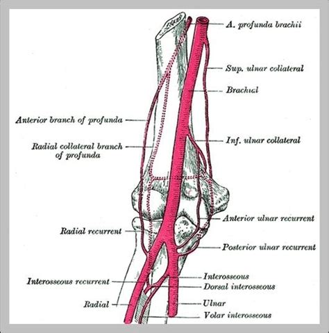 Diagram Of Arm Vessel by Anatomy Graph Diagram Page 61