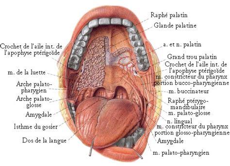 interieur de la bouche vue de l int 233 rieur de la bouche os et muscles de la t 202 te by sereni