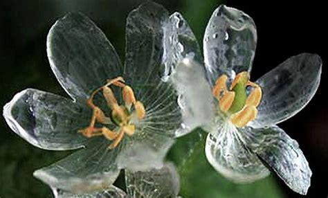 fiore di cristallo diphylleia grayi il fiore di cristallo leitv