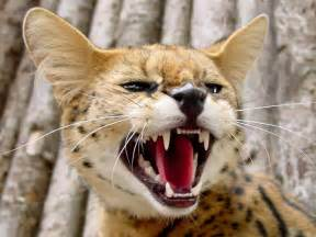 serval cat serval wallpapers hd wallpapers