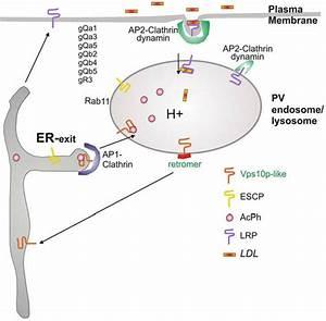 Schematic Representation Of The Lysosomal Protein