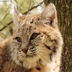 Bobcat-lynx hybrid | Project Noah