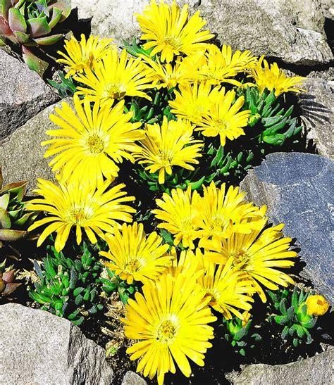 Goldtaler 1apflanzen Online Kaufen Baldurgarten