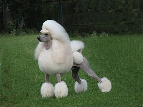 Pictures Of Outrageous Poodle Haircuts