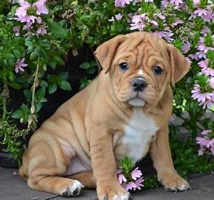 Baby Boxer Puppies For Adoption, Baby, Free Engine Image ...