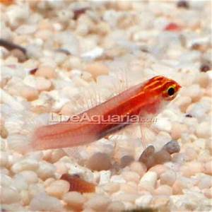 Saltwater Aquarium Fish for Marine Aquariums Gold Neon
